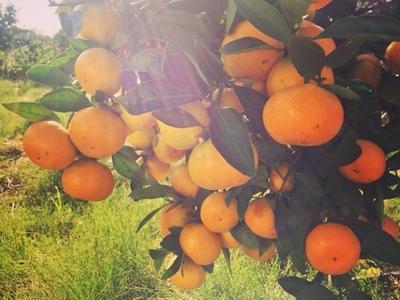秋の味覚狩り!平岡農園のみかん&レモン狩りがシーズンを迎えています。